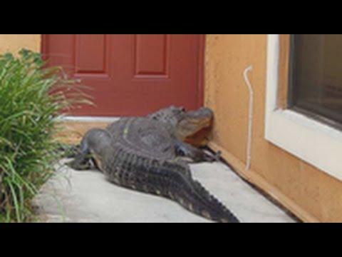 العثور على تمساح أمام منزل في ميامي
