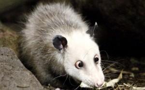 GhadiNews - Opossum Heidi635693632339915455