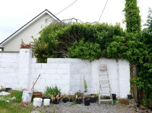 27.5.2015. The scene in Fiona McGauley's back garden in Ardee where a stray cat had her 4 kittens in amongst ivy branches and leaves 8 feet off the ground in a birds nest. The nest is in the tree above the step-ladder. Picture Ciara Wilkinson