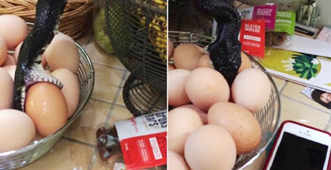 بالفيديو.. أمريكية فوجئت بحيّة تتناول البيض في مطبخها