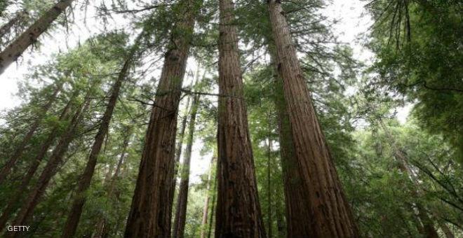 شجرة في كاليفورنيا تبلغ من العمر 777 عاما