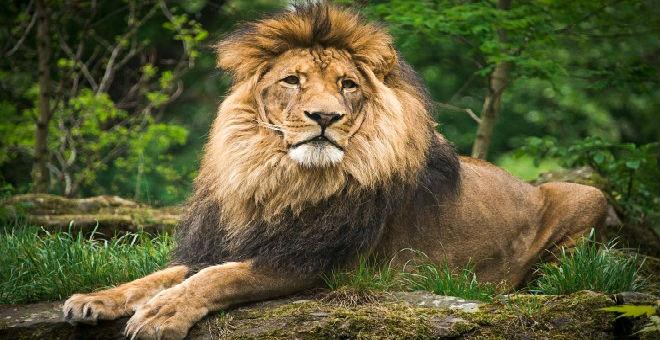 نفوق 10 أسود مهددة بالانقراض في الهند