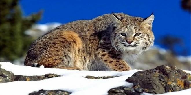 القطط المتوحشة-مشاهد24