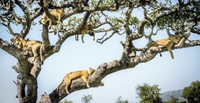 شاهد.. 10 أسود نائمة على شجرة بإفريقيا