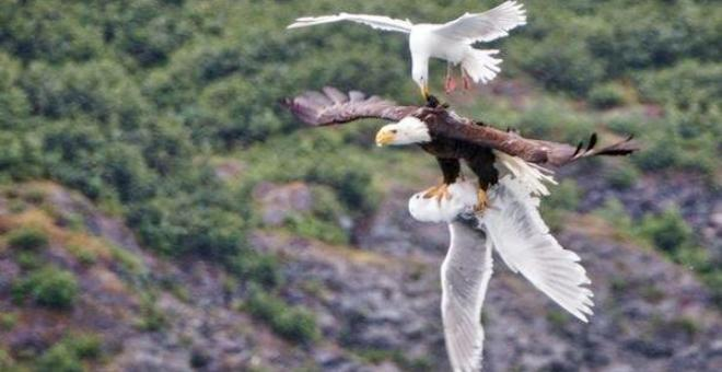شاهد.. طائر نورس يلحق بنسر خَطَفَ رفيقه محاولاً إنقاذه
