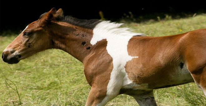 بالصور: مهر يولد بعلامة على شكل حصان أبيض