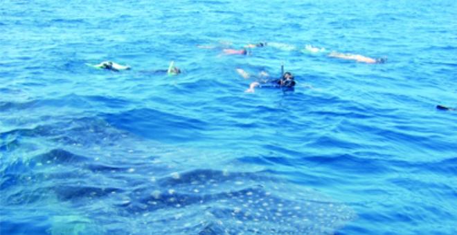 شركات تقدم عروضاً للسباحة مع الحوت الأحدب