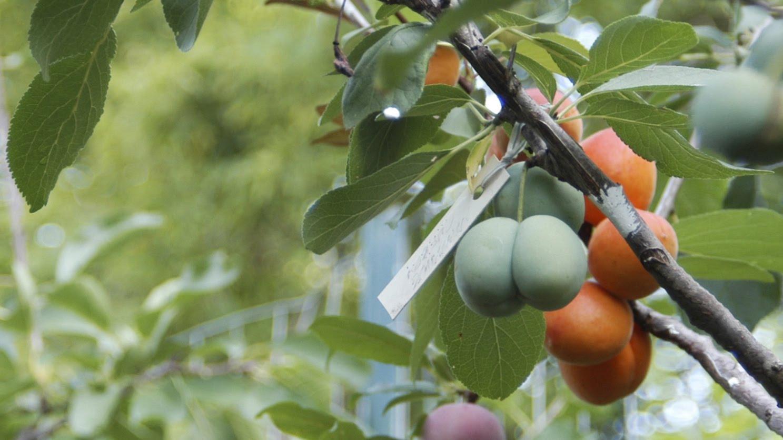 شجرة ملقمة تنتج 40 نوعا من الفاكهة