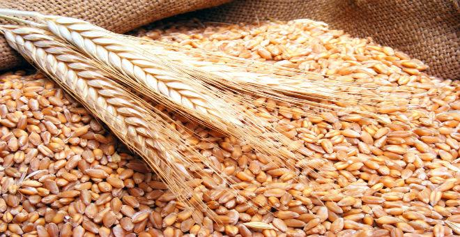 محصول المغرب من الحبوب هذه السنة يبلغ 115 مليون قنطار