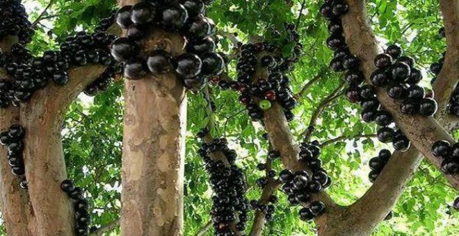 العنب البرازيلي..أغرب أنواع الفاكهة
