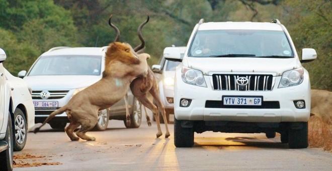 بالصور..سياح يحبسون الأنفاس لصراع أسدين وظبي بجوار سياراتهم!