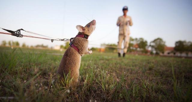 كمبوديا تستخدم الجرذان في البحث عن الألغام
