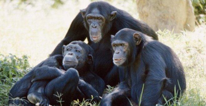 قاضية: الشمبانزي قد تمنح حقوق قانونية