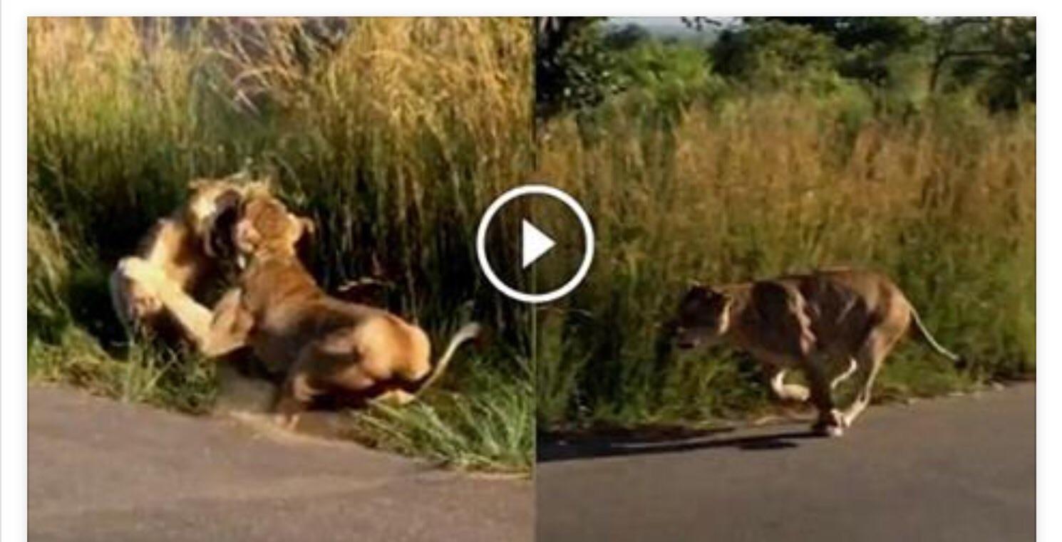 فيديو .. لبؤة تهاجم أسدا بشراسة دفاعا عن شبلها