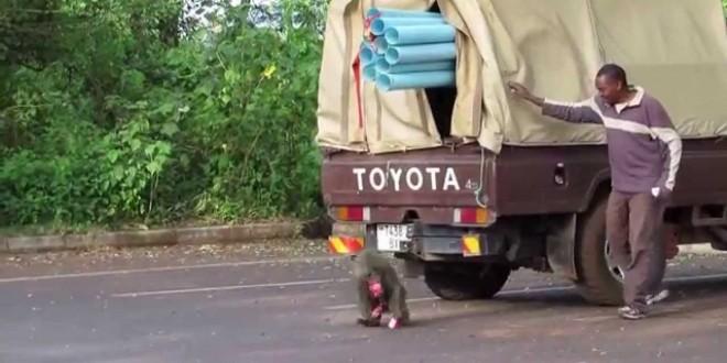 قرد يسرق شاحنة عنوة