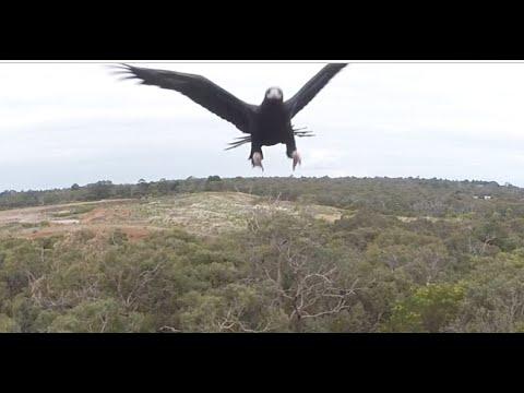 هكذا هاجم نسر طائرة صغيرة