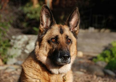 مثير..الكلاب البوليسية قادرة على الكشف عن سرطان البروستات