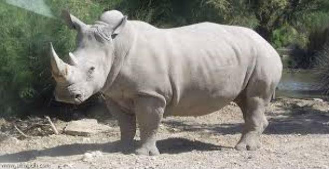 استنساخ قرون وحيد القرن لحمايته من الإنقراض