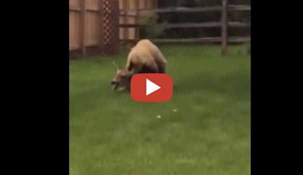 فيديو مثير لدب يفترس غزال في حديقة في مجمع سكني
