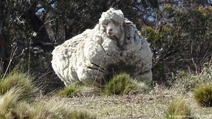 خروف أسترالي الأكثر صوفا في العالم