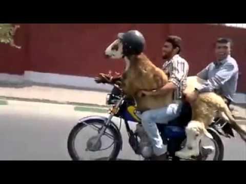 فيديو مضحك لأشخاص على الدراجة النارية يضعون خودة للخروف