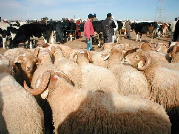 رؤوس الأغنام والماعز للعيد تلبي الطلب في المغرب