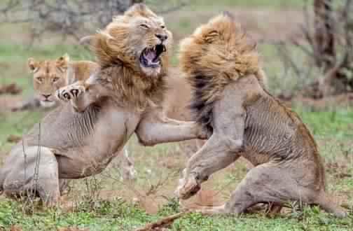 معركة ضارية بين أسدين من اجل مواعدة لبؤة