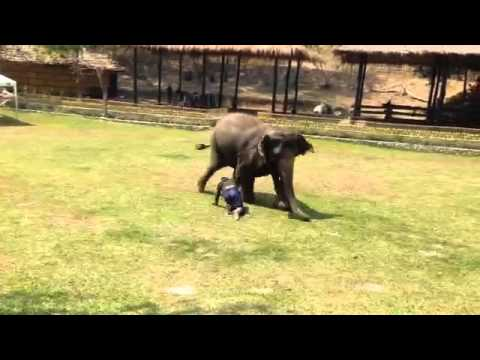 شاهد كيف تُخلص الفيلة لأصحابها