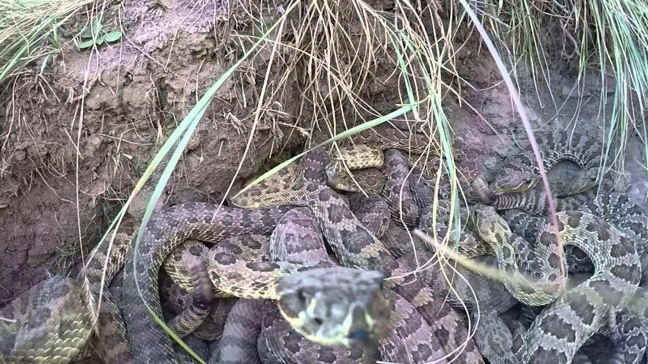 مصور يغامر لاسترجاع كاميرا سقطت وسط العشرات من الثعابين
