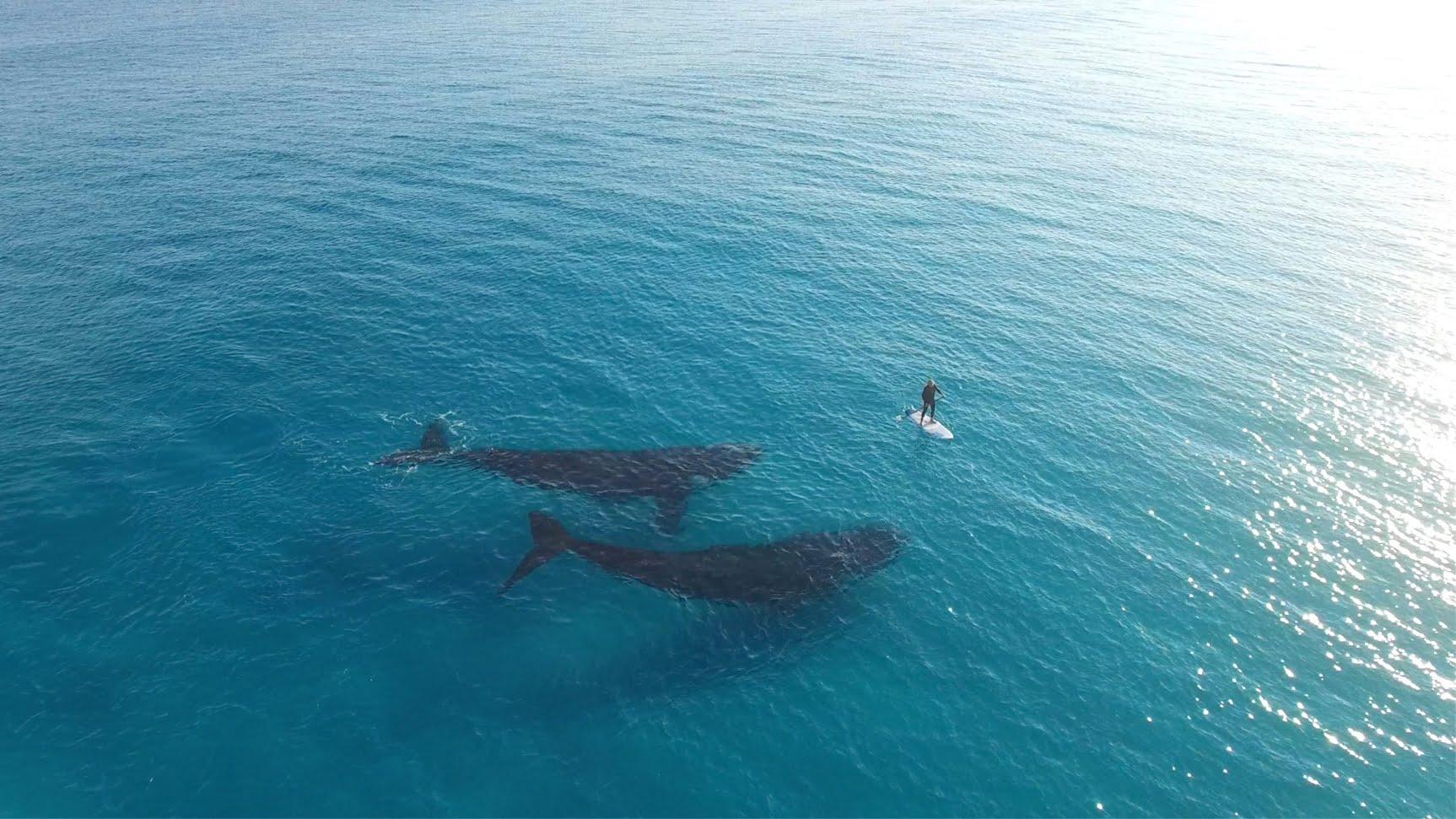 في مشهد أكثر من رائع.. أسترالي يسبح فوق حيتان كبيرة