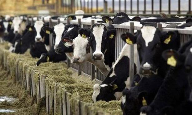 بعد الجمرة الخبيثة..الحمى القلاعية تصيب أبقار هذه المنطقة