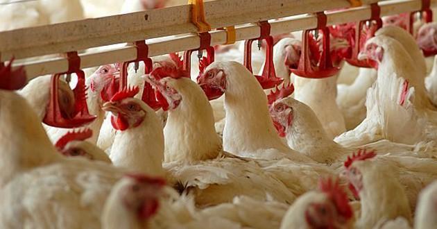 دواجن-الوطنية-تبرم-عقد-تنفيذ-فقاسة-الدجاج-بمنطقة-القصيم