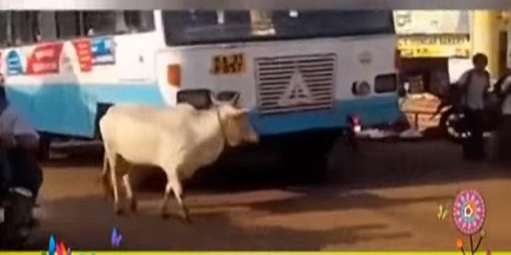 بالفيديو: بقرة تمنع سائق حافلة من عبور الطريق بعد دهس صغيرها
