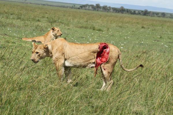 بالفيديو : إصابة أسد بجراح مميتة بعد معركة عنيفة مع ثور