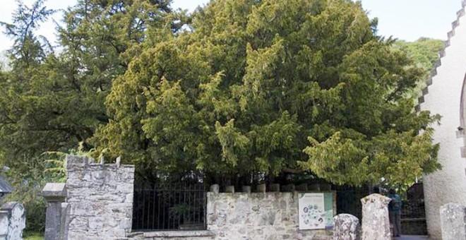 أقدم شجرة في بريطانيا تتحول لأنثى