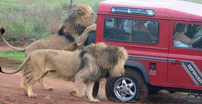 بالصور..أسود جائعة تهاجم سيارة سياح