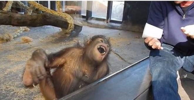 بالفيديو.. قرد يسقط من الضحك بسبب خدعة