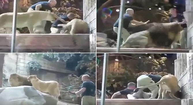 فيديو: أسد يهاجم حارسه ولبوءة تنقذه من بين أنيابه