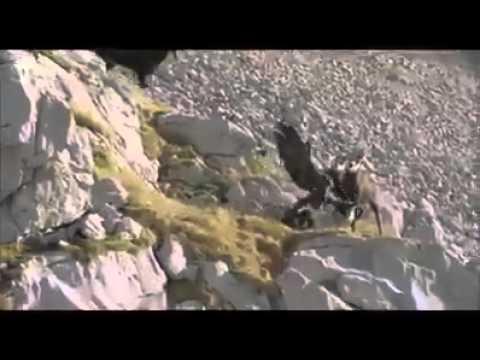 فيديو: طائر يصطاد الماعز الجبلي بطريقة رهيبة !