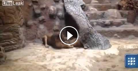 فيديو : أسد يقتل لبوؤة بعد اكتشاف خيانتها له مع أسد آخر