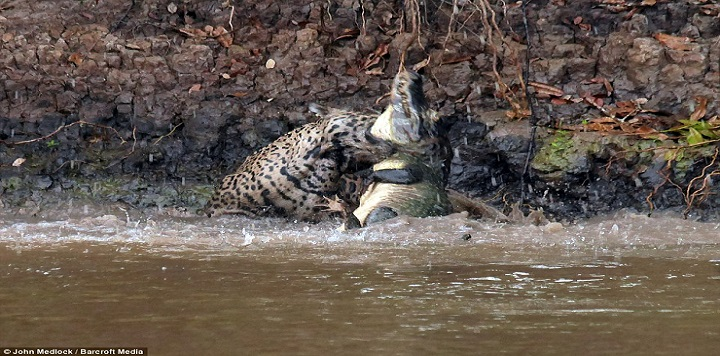 فيديو: معركة أسطورية بين نمر أمريكي وتمساح عملاق