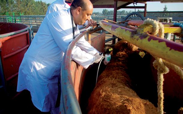 50 مليون درهم كلفة تلقيح قطيع الأبقار ضد الحمى القلاعية!