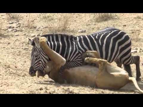 بالفيديو : حمار وحشي شجاع يواجه أسد ويتغلب عليه