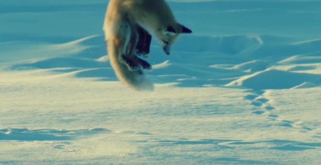 شاهد.. ثعلب يصطاد فأرًا أسفل الجليد: مهارة فريدة
