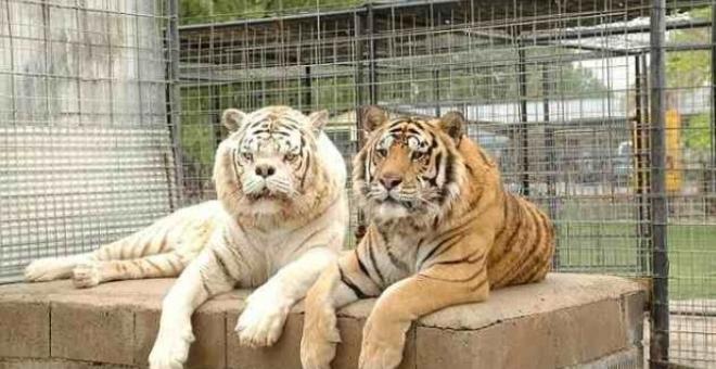 شاهد.. أقبح نمر  أبيض.. والسبب: زواج الأقارب!
