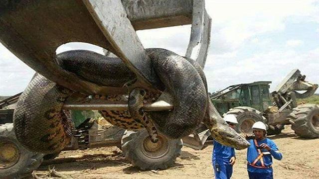 عمال بناء يعثرون على ثعبان ضخم في البرازيل