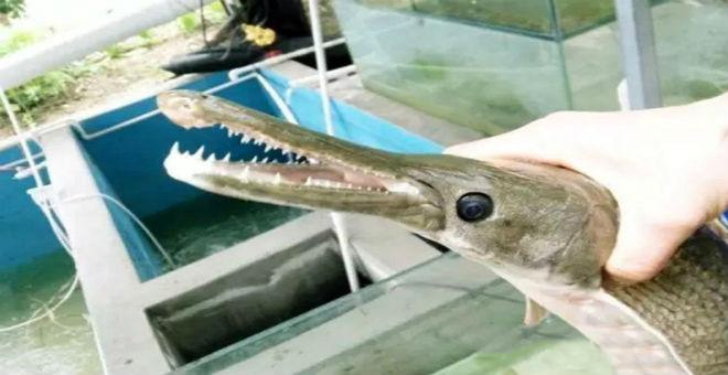 دهشة صيني بعد اصطياده سمكة عجيبة تشبه التمساح