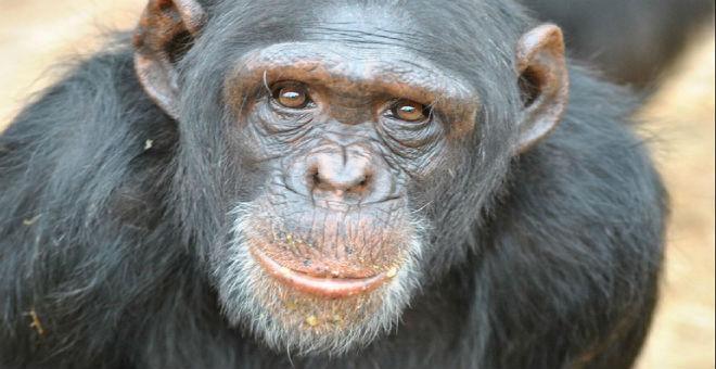 غريب..قرود الشامبانزي تمارس طقوسا تعبدية!!