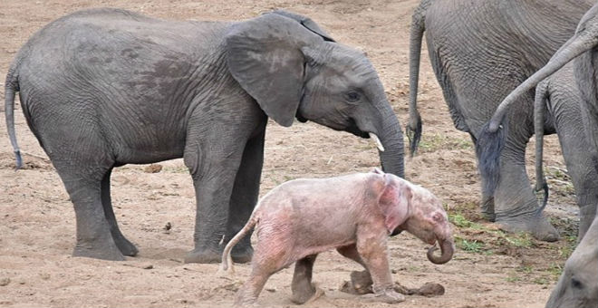 بالصور.. ظهور فيل نادر بلون