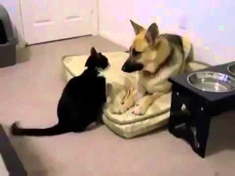 طريف..شاهد القط الذي لا يعرف الخوف